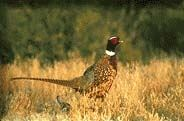 A wild pheasant standing in the grass